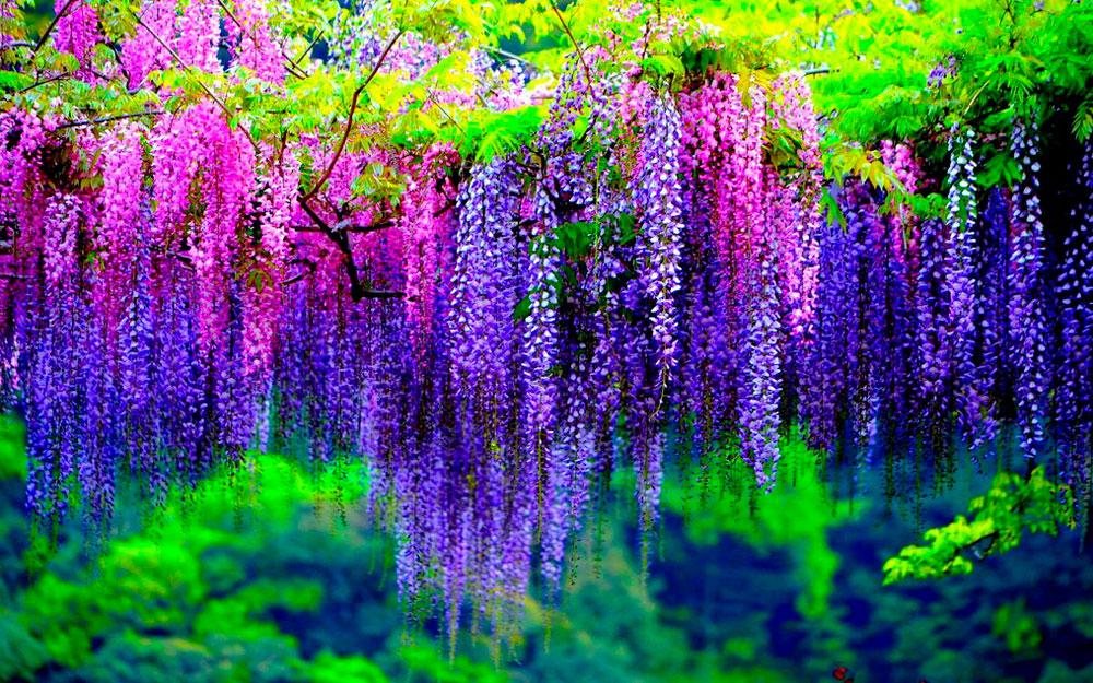 kawachi-fuji-gardens