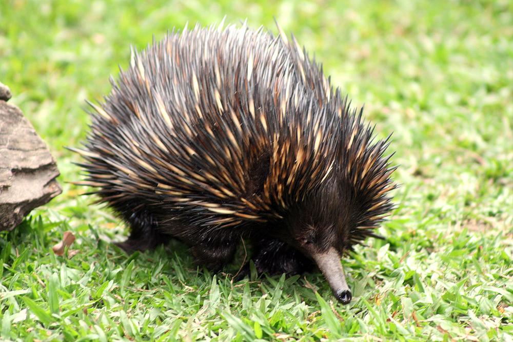 echidna-australia-zoo-1-1361030