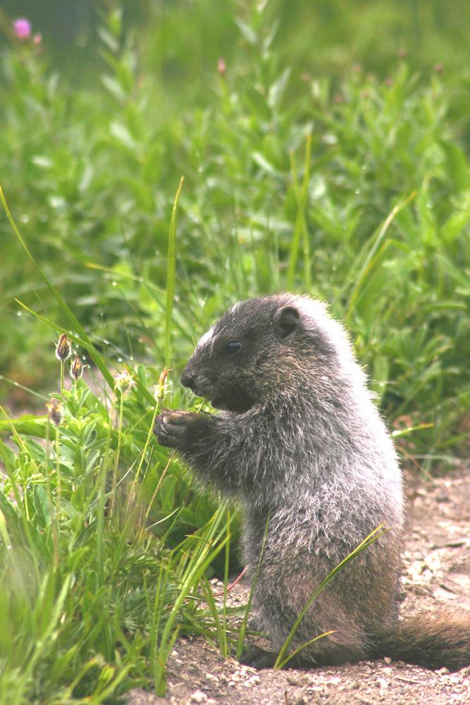 marmots-on-ranier-1-1510668-1280x1920