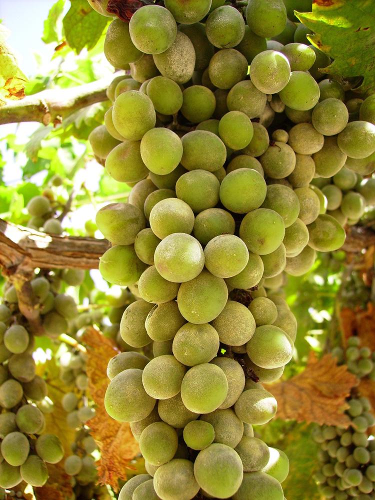 portugese-grapes-2-1327057-1279x1705